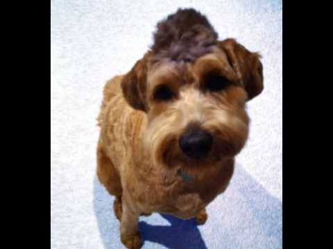 Labradoodle Facts - Facts About Labradoodles