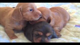 Akc Miniature Dachshund Puppies In Bend, Oregon