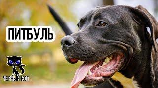 Питбуль / Интересные факты о собаках