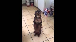 Wiener Dog Dachshund Begging For Food