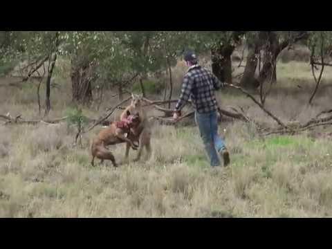 un kangourou costaud attaque son chien, ce qu-a fait son maître pour le sauver est impensable !