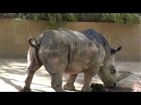 Rhino takes a poop and then pees, crowds reaction is funny