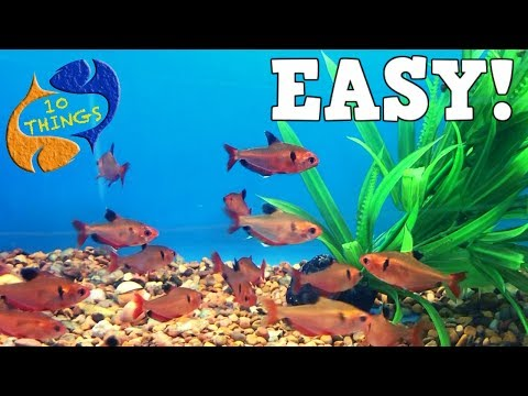 Top 10 Aquarium Fish For Beginners! Your First Aquarium!