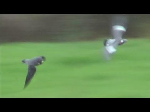 Peregrine Falcon Attacks Pigeons (HD) | Doovi