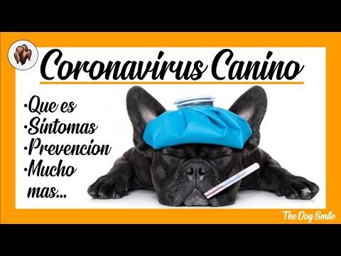 CORONAVIRUS En Perros : Qué Es, Síntomas, Prevención Y Mucho Más 🐶 Salud Canina 🐶
