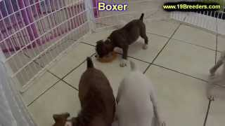 Boxer, Puppies, For, Sale, In, Birmingham, Alabama, Al, Montgomery, Tuscaloosa, Jefferson, Shelby, B