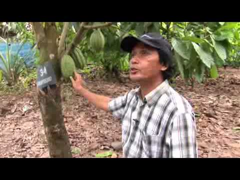 Improving the livelihoods of smallholder cocoa growers in Sulawesi, Indonesia