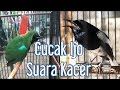 Cucak Ijo Isian Kacer  Mp3 - Mp4 Download