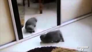 Приколы с кошками  Смешные кошки Кот у зеркала Ржак!