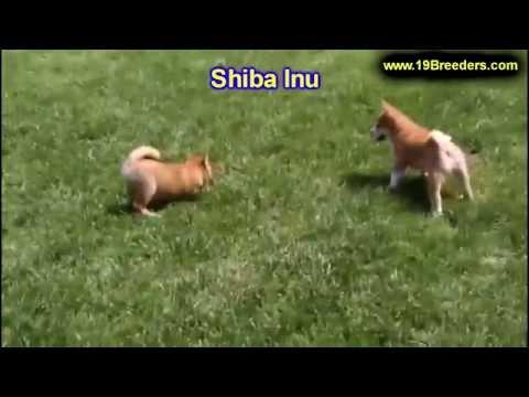 Shiba Inu, Puppies, For, Sale, In, Anchorage, Alaska,AK, Fairbanks, Juneau, Eagle River