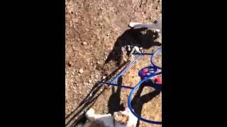 Opie -- Beginner Agility Training -- Akc Siberian Husky Puppy