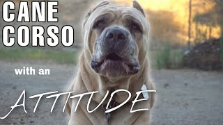 CANE CORSO  My dog talks back and won't listen