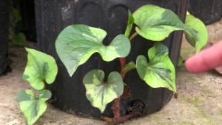 **++Grow Chameleon Plants**++GROUNDCOVER++Houttuynia cordata++