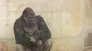 シャバーニ家族の日々82 Shabani gorilla family