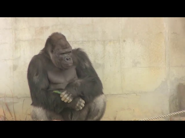 ??????????82 Shabani gorilla family