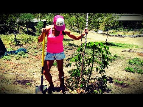 How To Grow Cassava / Yuca / Tapioca