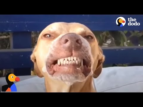 Pit Bull Dog With GOOFY Smile Loves His Dad Very Much | The Dodo
