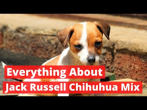 Everything about the Jack Russell Chihuahua Mix   Should you Get one?