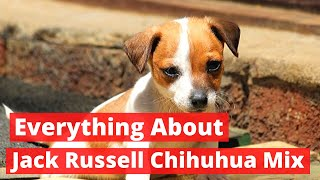 Everything about the Jack Russell Chihuahua Mix | Should you Get one?