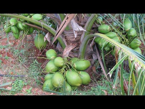 Hybrid Dwarf Coconut Plant Farming