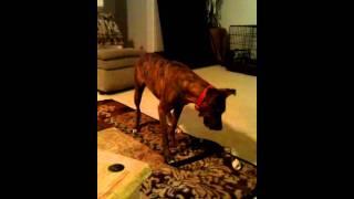 Boxer / Greyhound Mix