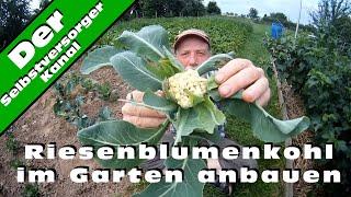 Riesenblumenkohl im Garten anbauen
