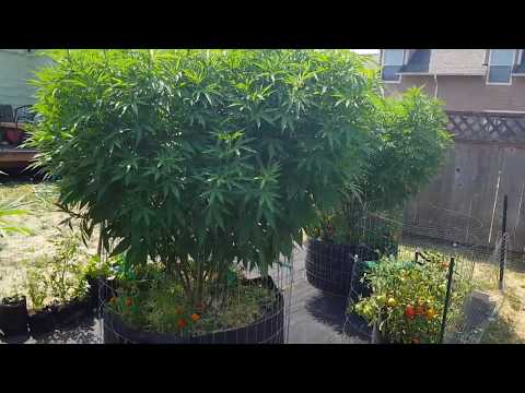 S:2 Ep: 18 Organic Outdoor Cannabis Grow 2017