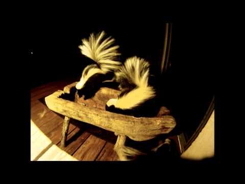 Skunks Fighting Over Leftovers