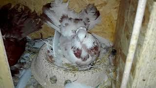 Gołębie - jak zacząć hodowlę.