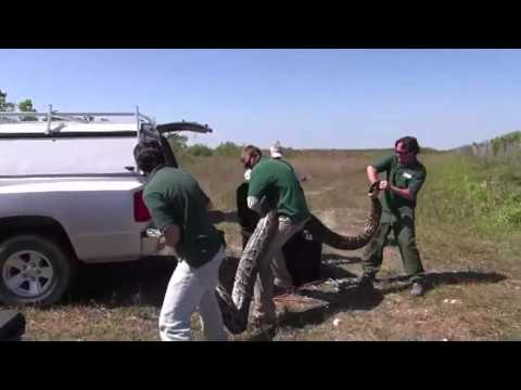 Video of record-breaking Burmese python in Everglades Nation