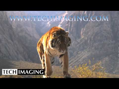 High Speed Camera Video - Tiger