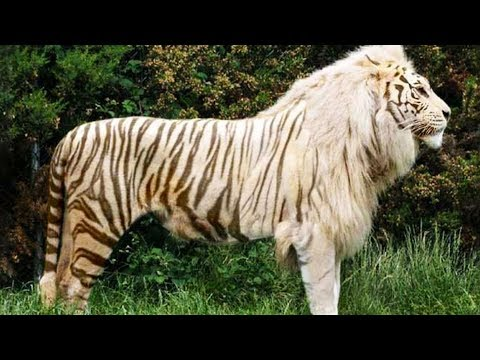 10 Awesome Hybrid Animals That Actually Exist 🦓+🦁 = ❓