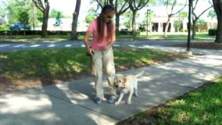 Labrador Retriever Obedience Training Off Leash Dogtra Ffyona