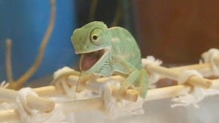 Cute baby chameleon eats for the first time (Ch. calyptratus) [Inferion7]