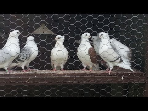 House keeping pigeons | Be Careful Before buying Baby Pigeon | Pigeon Farm house | Kabutara system 4
