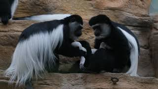 Video: Baby colobus monkey born at St. Louis Zoo
