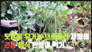 [텃밭 유기농 채소재배] 텃밭 유기농 브로콜리 재배해 …