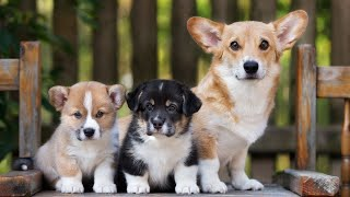 Funny videos about Corgi Welsh Pembroke. Corgi puppies. Corgi barking