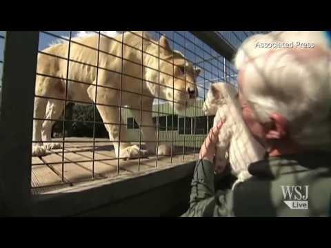 Australia Zoo Celebrates Arrival Of White Lion Cubs