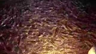 Hardhead catfish Thumbnail