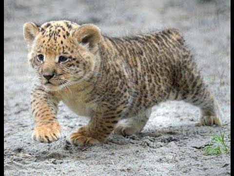 Ini Dia Hasil Perkawinan Silang Singa Dan Harimau