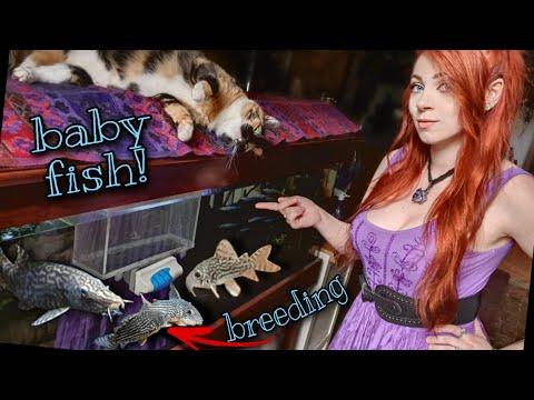 My Fish Had Babies! (Corydora Breeding)