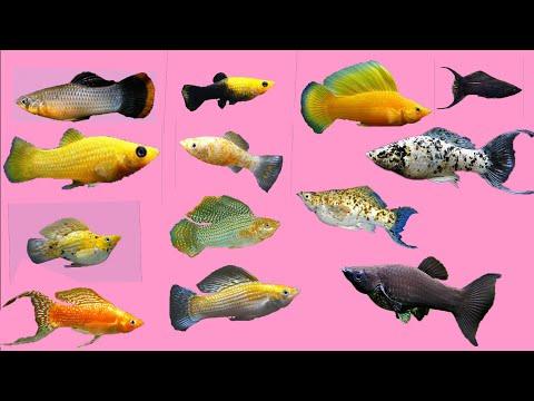 Top 13 Beautiful Molly Fish
