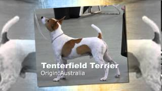 Tenterfield Terrier Dog Breed
