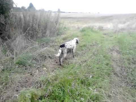English setter dog on running pheasant