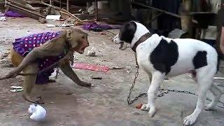 राजपूत बन्दर और यादव कुतिया का घमासान युद्ध हंस हंस के हो जाएगा पेट में दर्द | Monkey And Dog