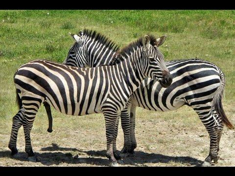 #3097. Зебры (В мире животных)
