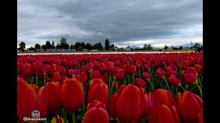 Tulip Festival - Skagit Valley WA USA