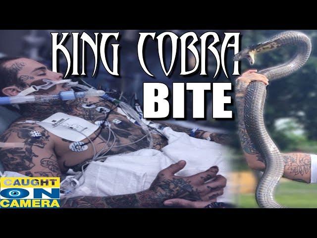 King Cobra Bite! CAUGHT ON CAMERA!