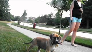 German Shepard/mastiff Mix Puppyyy